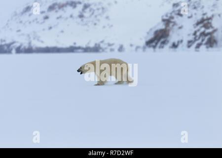 Young male Polar Bear in Baffin Island - Stock Image