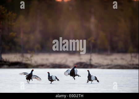 Black Grouse, two pairs of males fighting on frozen lake at sunrise. April 2012, Kuhmo, Finland (Tetrao tetrix) - Stock Image