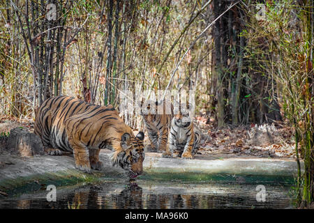 Two cute little two month old Bengal Tiger Cubs, Panthera tigris tigris, watching adult male father drinking, Bandhavgarh Tiger Reserve, India - Stock Image