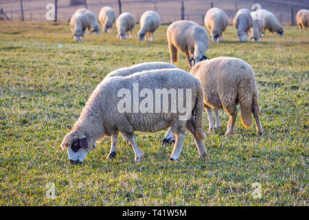 Panoramic view of Pester plateau landscape in southwest Serbia. Sheeps in the pasture - Stock Image