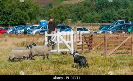 The World Famous Longshaw Sheep Dog Trials -  The Peak District, Derbyshire, UK - Stock Image