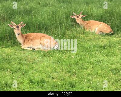 Two Deer lying on the grass - Stock Image