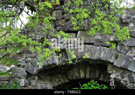 Goat Willow (Salix caprea )tree growing on a dereilict disused Limekiln,in the Black Mountains  above the Dan Yr Ogof Caves, South Wales,UK - Stock Image