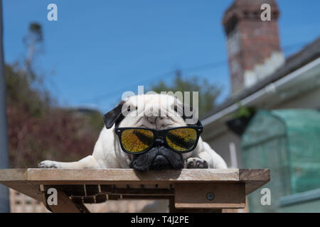 Mousehole, Cornwall, UK. 17th April 2019. UK Weather. Titan the pug out enjoying the sunshine ahead of the Easter bank holiday. Credit: Simon Maycock/Alamy Live News - Stock Image