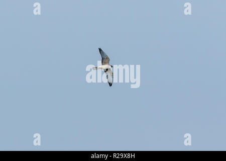 Red-footed Falcon (Falco vespertinus).  Vinogradovsky flood plain of the river Moscow - Stock Image