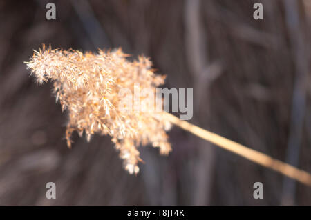 Common reed (Phragmites australis) - Stock Image
