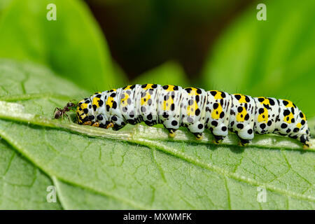 Garden ant investigating a mullein moth caterpillar - Stock Image