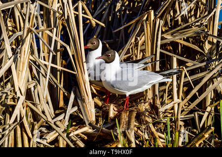 Black-headed Gull; Spring is advancing and it's time to start preparing nest. - Stock Image