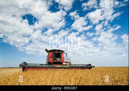 soybean harvest near Oakbank, Manitoba, Canada - Stock Image