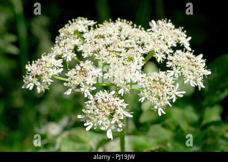 Hogweed (heracleum sphondylium), also know as Cow Parsley, a close up of a solitary flower head. - Stock Image