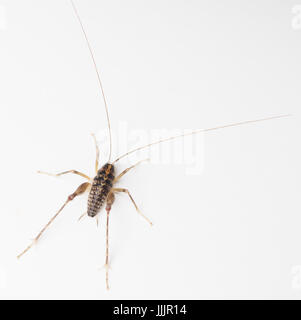 Overhead view of a Large Camel Cricket on a white background. - Stock Image