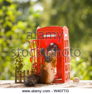 red squirrel is standing with a telephone booth - Stock Image