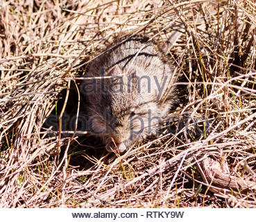 Yellow-nosed Cotton Rat, Sigmodon ochrognathus, feeding in dry grass, Arizona USA - Stock Image