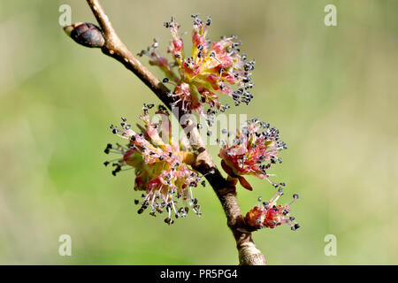 Wych Elm (ulmus glabra), close up of the flowers. - Stock Image