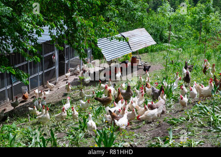 Free range chickens in a field with grass and plants - Stock Image