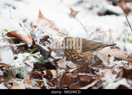 Song Thrush, (Turdus philomelos), searching leaf litter for insects in winter snow, Regents Park, London, United - Stock Image