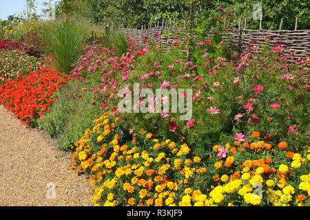 A colourful flower border with Cosmos bipinnatus rubenza and other flowering plants in a country garden - Stock Image
