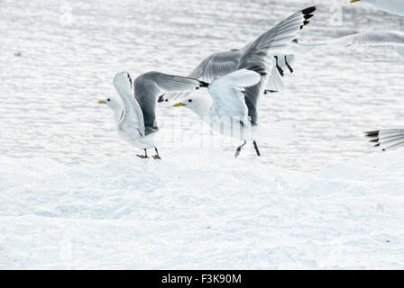 Glaucous Gulls, Larus hyperboreus, in flight, Spitsbergen, Svalbard Archipelago, Norway - Stock Image