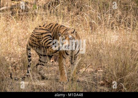Wild, two year old cub, juvenile Bengal Tiger, Panthera tigris tigris, scratching with hind leg, Bandhavgarh National - Stock Image