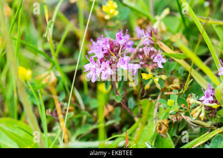 wild thyme, Thymus polytrichus, Cressbrook Dale NNR Peak District National Park June 2014 - Stock Image