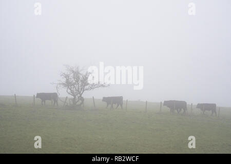 East Dunbartonshire, Scotland, UK. 6th January 2018. UK weather - cattle in fog in Baldernock, East Dunbartonshire, 10 miles north of Glasgow city centre Credit: Kay Roxby/Alamy Live News - Stock Image