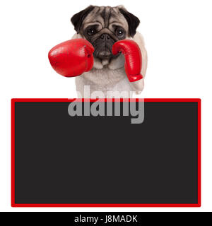 pug dog boxer with red leather boxing gloves with blank advertising blackboard sign, isolated on white background - Stock Image