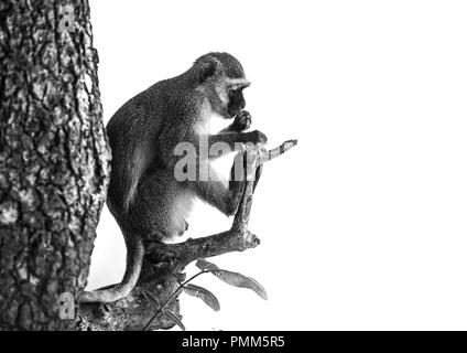 Vervet monkey in profile, sitting on a tree branch - Stock Image
