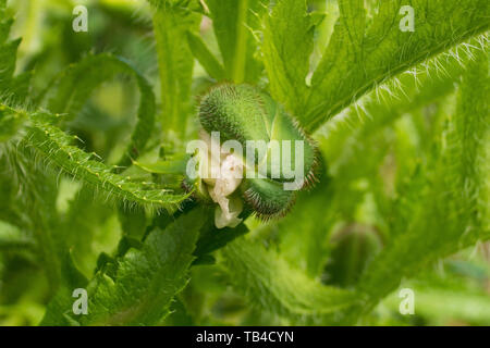 The bud of a giant red poppy in natural sunlight with various grasses and other plants in the background. Photographed in north east Italy. Although i - Stock Image