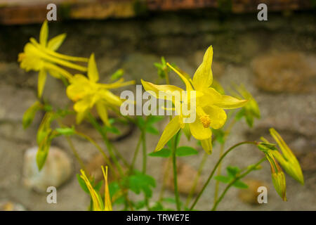 Yellow Aquilegia flowers in north east Italy in spring, also known as Columbine - Stock Image