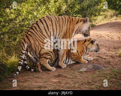 Side view of bengal tigers mating in the wild. - Stock Image
