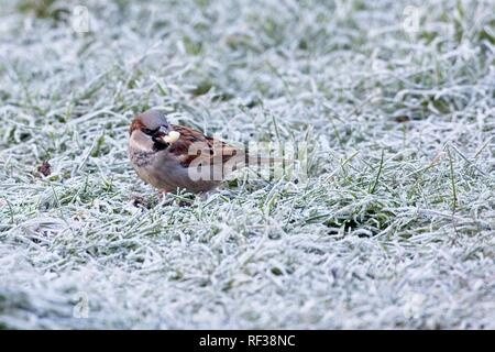Hailsham, UK. 24th Jan 2019.UK weather.A House sparrow (Passer domesticus) scavenges for food this morning after a cold night in Sussex. Wildlife will struggle to find food as the cold weather worsens this week. Hailsham, East Sussex, UK. Credit: Ed Brown/Alamy Live News - Stock Image