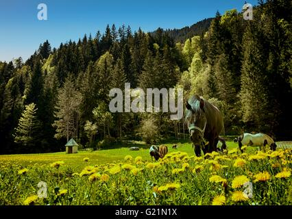 A pony in a meadow in the stunning Les Contamines in the French Alps. - Stock Image