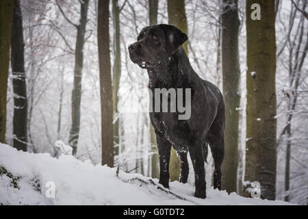 Black dog Labrador Retriever in the forest covered with snow with trees in a background - Stock Image