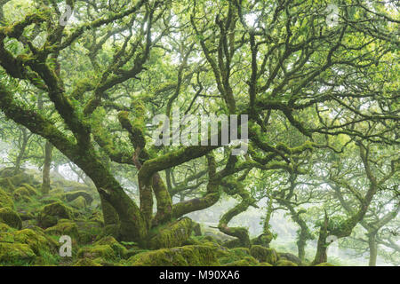 Moss covered, twisted stunted oak trees growing in Wistman's Wood SSSI, Dartmoor National Park, Devon, England. Summer (July) 2017. - Stock Image