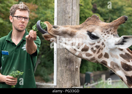 London, United Kingdom. 23 August 2018. Annual weigh-in records animals' vital statistics at ZSL London Zoo. PICTURED: Giraffe Credit: Peter Manning/Alamy Live News - Stock Image