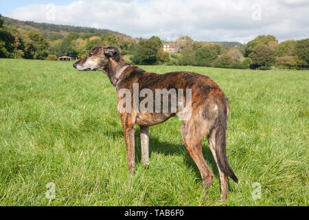Lurcher dog, Full profile, Elderly adult looking across field, Lurgashall, Surrey, England - Stock Image