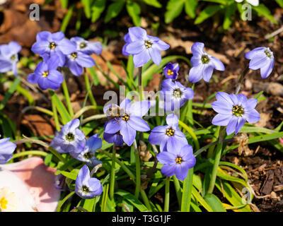 Spring flowering blue form of the bulbous starflower, Ipheion uniflorum 'Jessie' - Stock Image