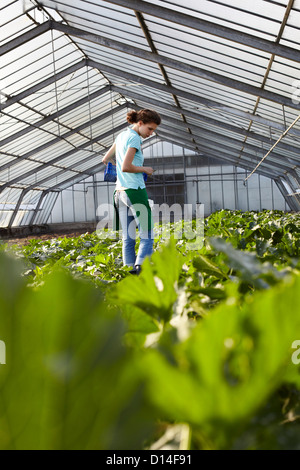 young woman working in greenhouse collecting courgettes - Stock Image