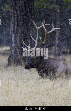 Antlered male elk rests in dried, autumn grasses during early snow flurries near Banff in Alberta, Canada. - Stock Image
