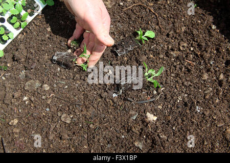 PurpleTop MilanTurnip seedlings ready for planting - Stock Image