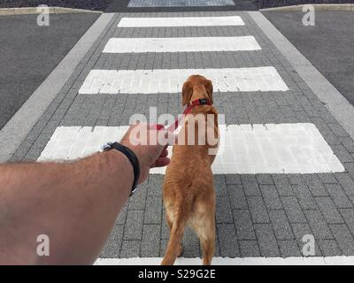 A point of view image of a male hand and arm holding tightly onto a leash or lead as a dog pulls hard across a zebra or pedestrian crossing - Stock Image