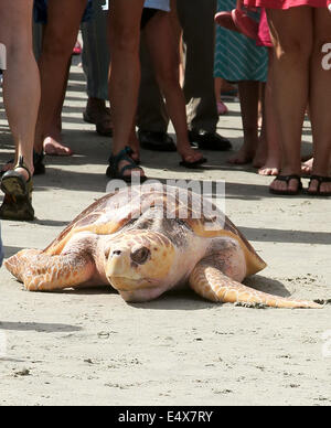 South Carolina, US. 15th July, 2014. Briar the Sea turtle set free after just over a year of being nursed back to - Stock Image