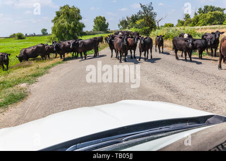 A Standoff.A herd of about 100 Beef Cattle refuse to walk past a vehicle at the Merced National Wildlife refuge in the Central Valley of California - Stock Image