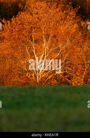 Late evening sun hits a white birch tree in full fall colors. - Stock Image
