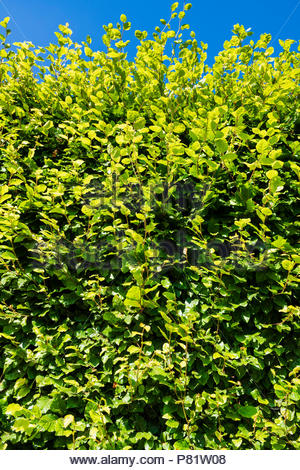 Green beech hedge in a UK garden on a summer day. Fagus sylvatica green beech garden hedge. - Stock Image