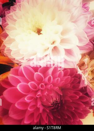 Dahlia flowers - Stock Image