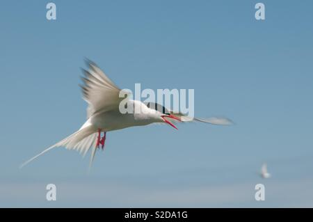 Atlantic tern on the attack - Stock Image