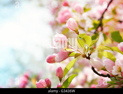 A closeup of beautiful pink cherry blossom flowers in a tree with a blurrred background area. - Stock Image