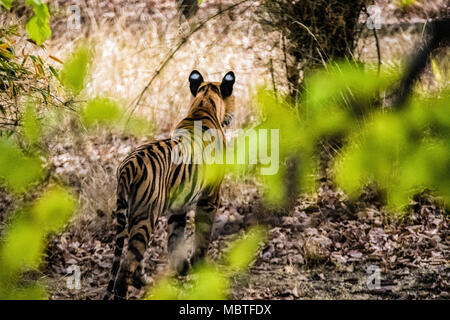 Rear view of a solitary two year old wild male Bengal Tiger, Panthera tigris tigris, in the jungle of the Bandhavgarh Tiger Reserve, India - Stock Image