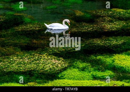 A swan in a Derbyshire pond - Stock Image